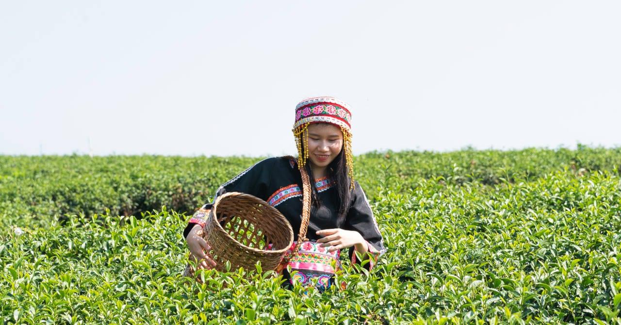 champ de cultivation du the vert la plante ideale pour vos cheveux